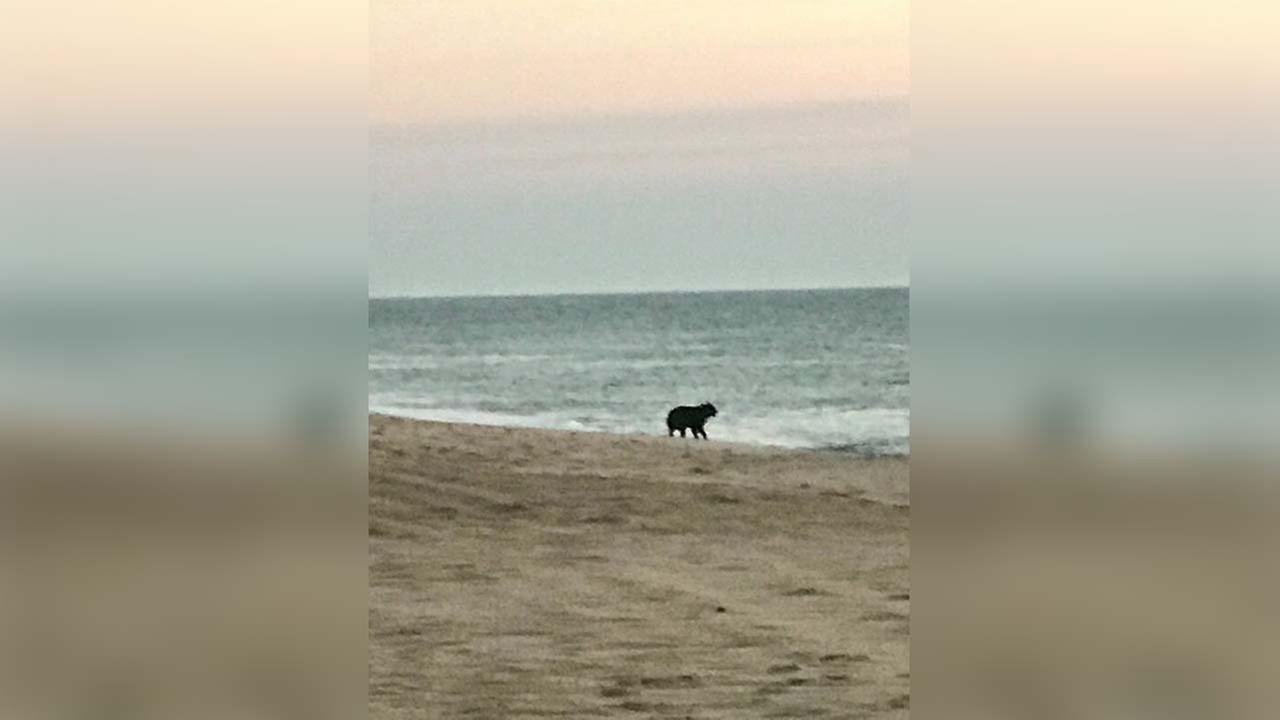 A black bear was spotted along Duck Beach on Thursday.
