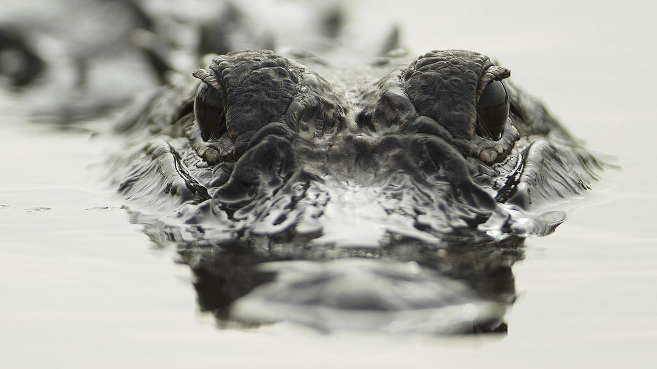 Alligator in water, eyes popped up