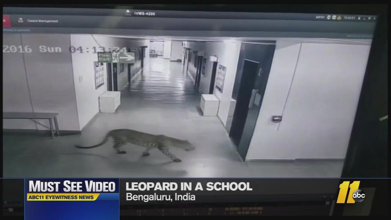 Must-see video: Leopard in a school