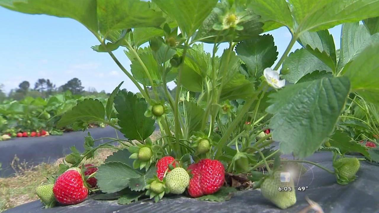 Local farmer looks to protect straberries from overnight freeze
