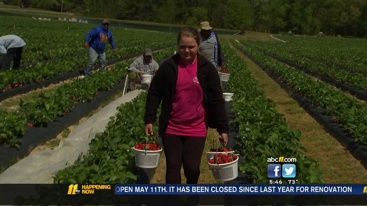 Strawberries continue to ripen despite freeze