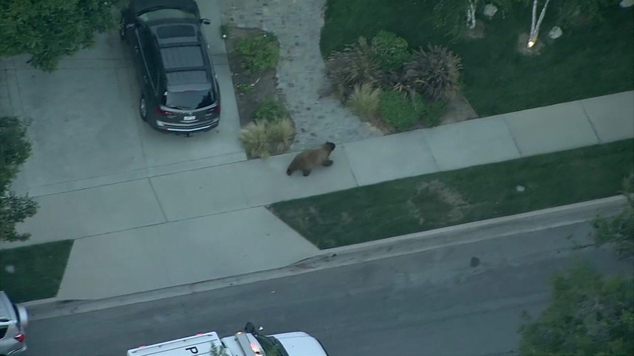 Bear roams through neighborhood