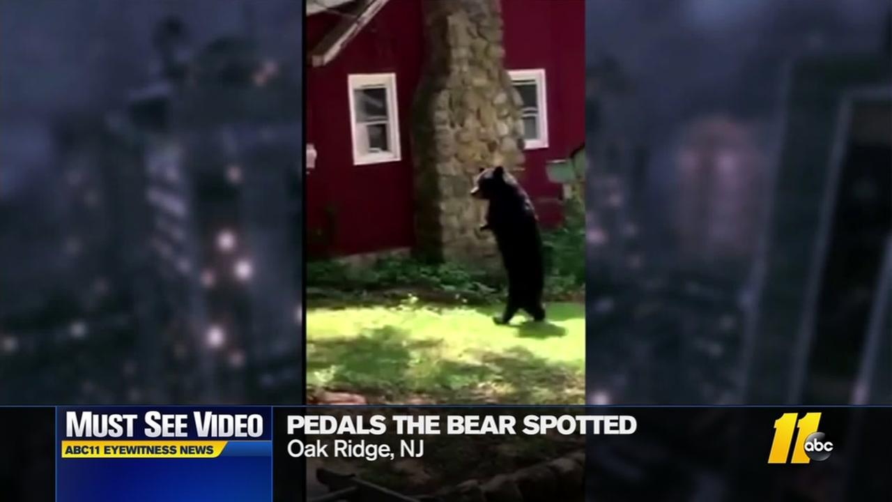 Pedals the bear spotted again