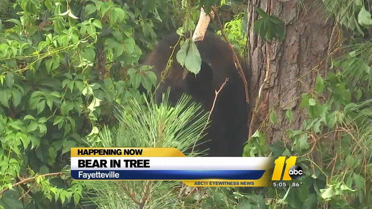 Bear changes trees