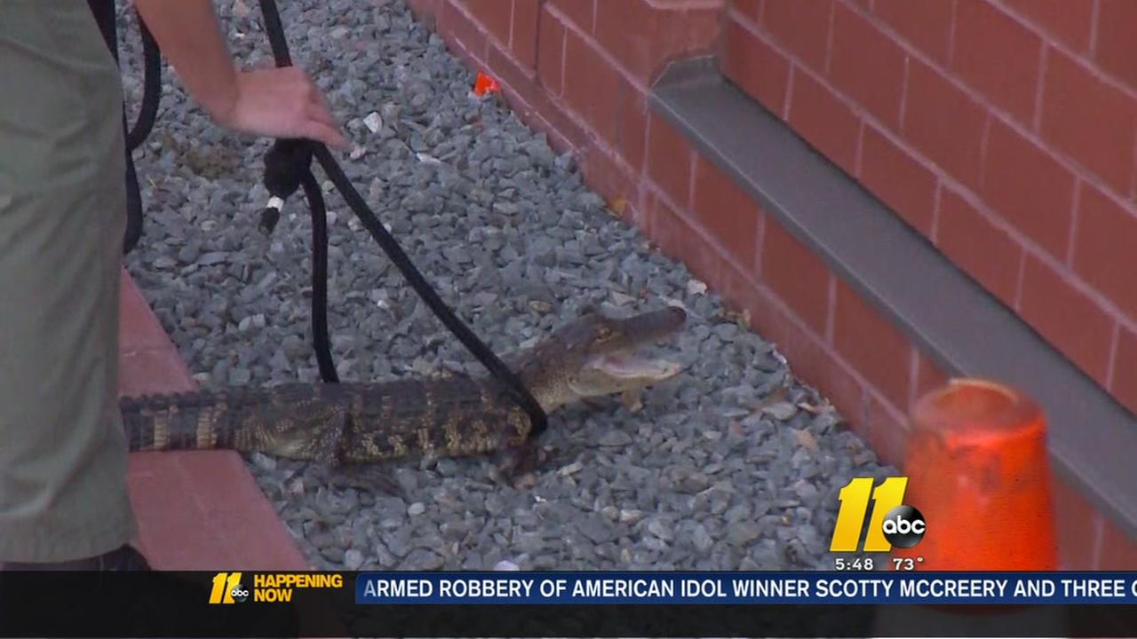 Baby alligator captured outside city hall in Jacksonville, NC