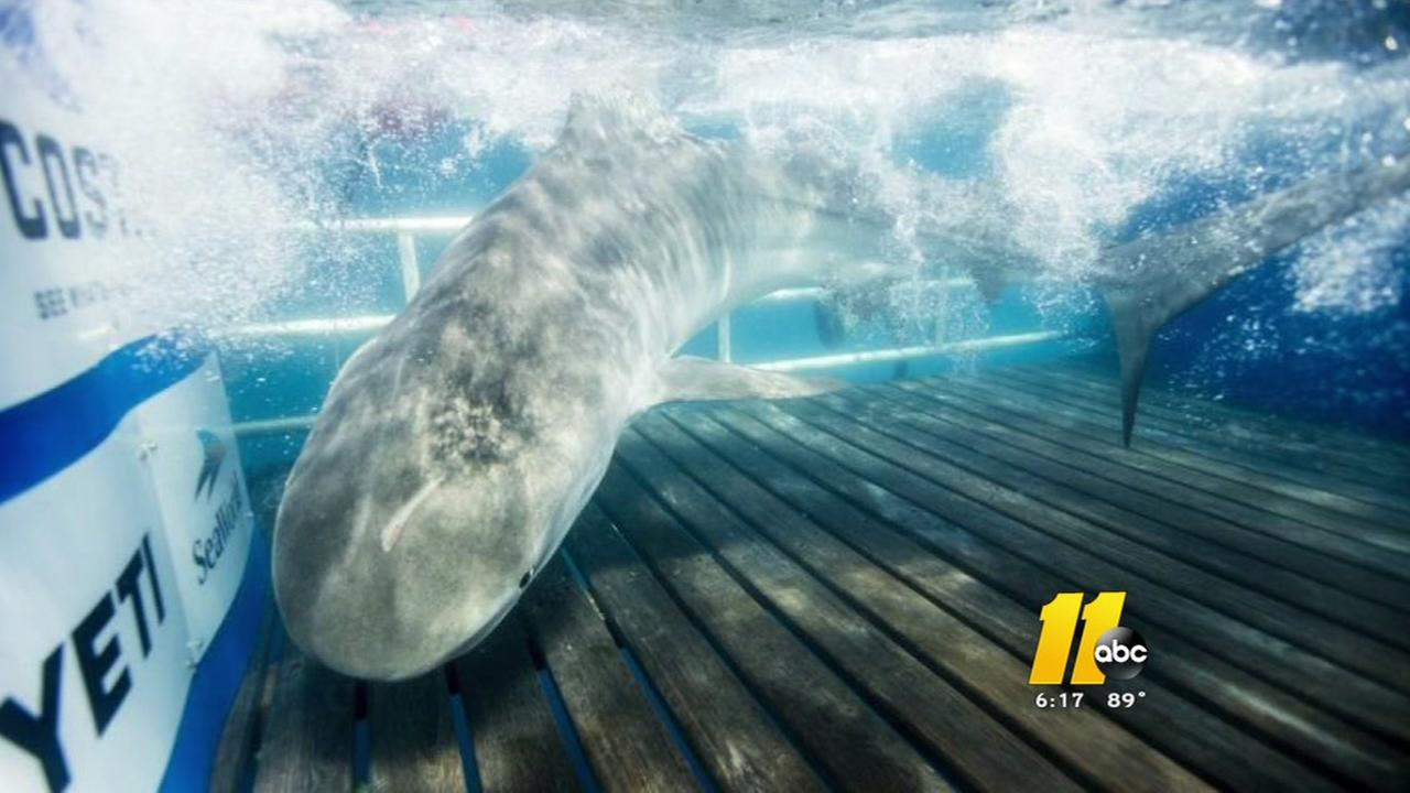 Tiger shark spotted off NC coast
