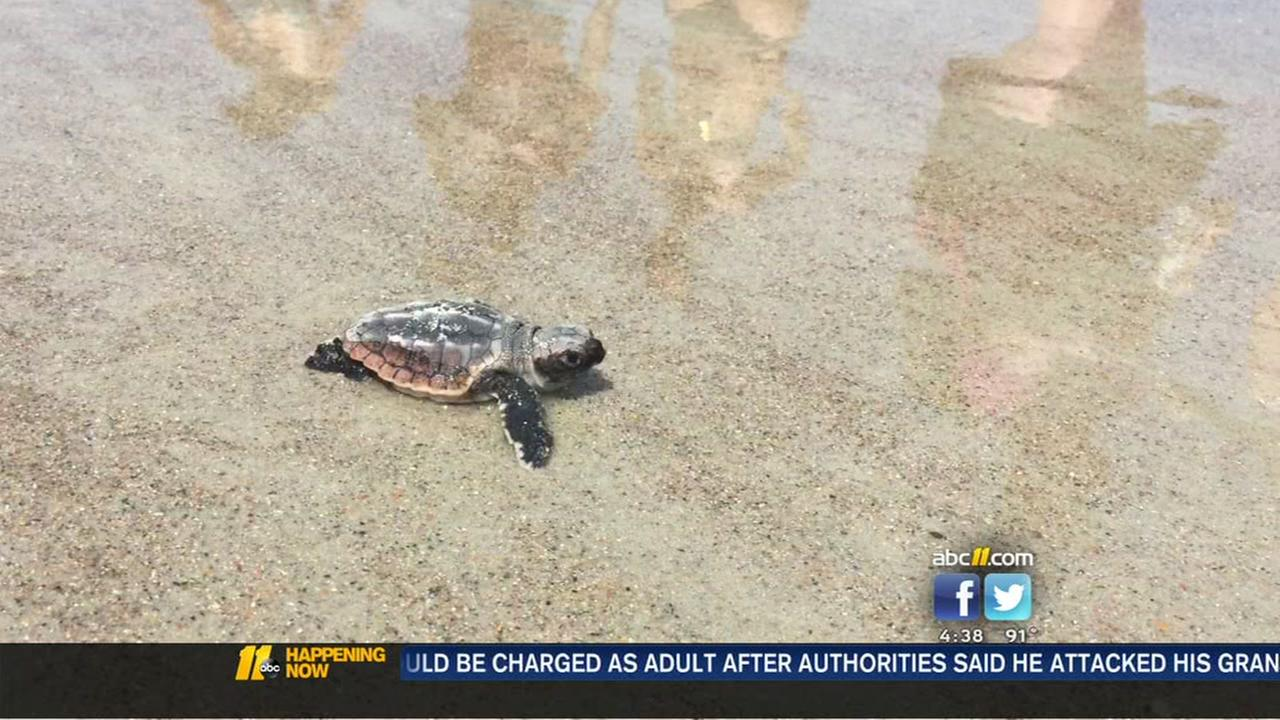 Sea turtles released on NC beach
