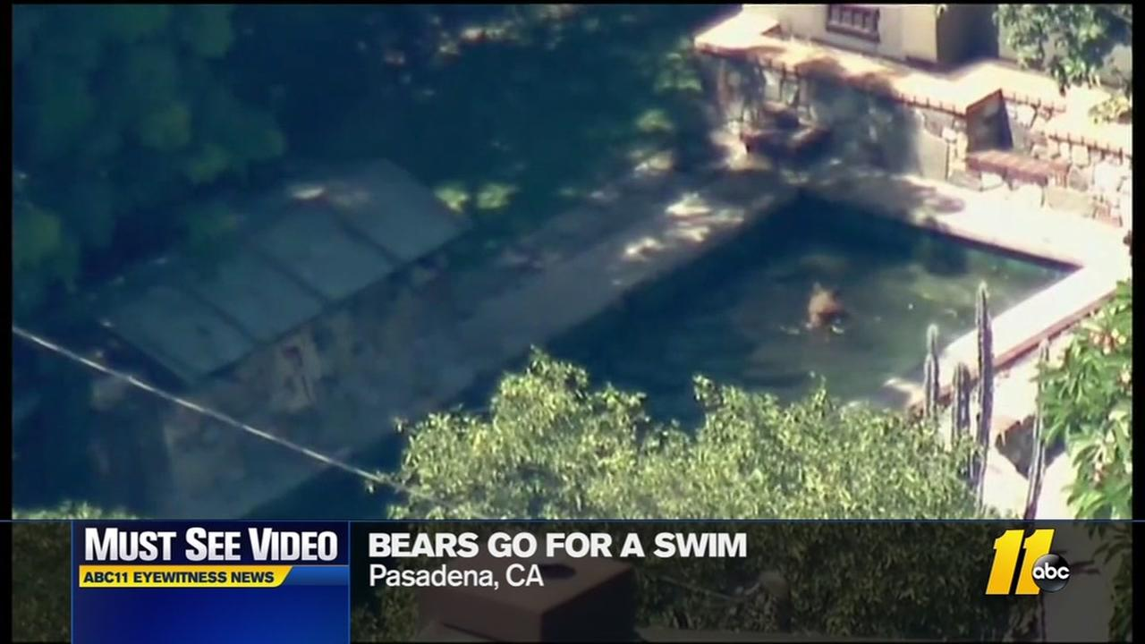 Bears swim in backyard pool
