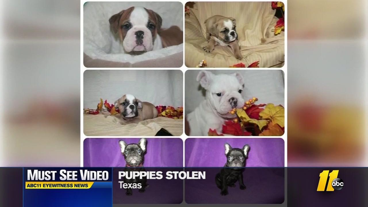 Puppies stolen from pet store