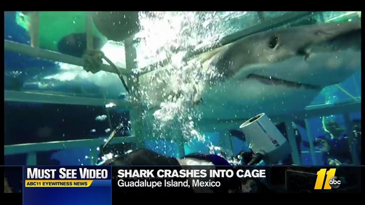 Shark crashes into cage
