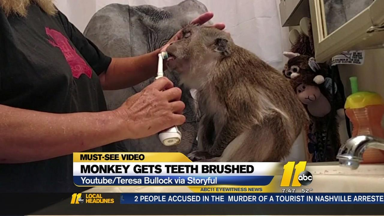 Monkey gets teeth brushed