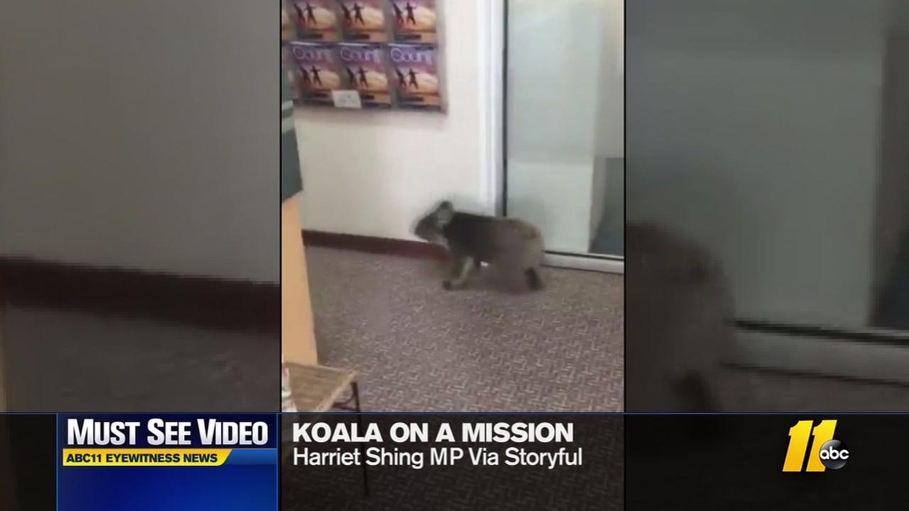 Koala walks into office