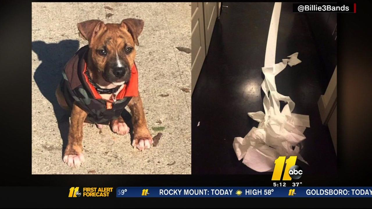 Pit bull puppy cleans up his own mess
