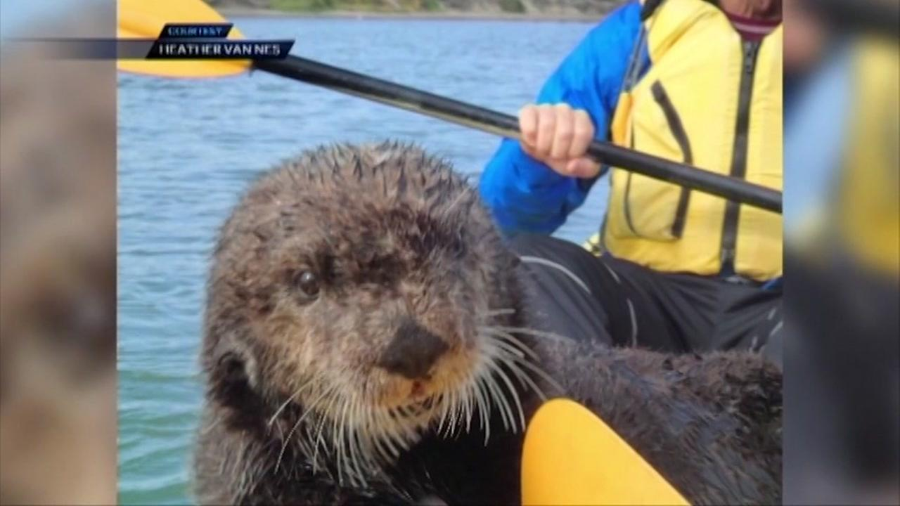 Friendly otter jumps on kayak