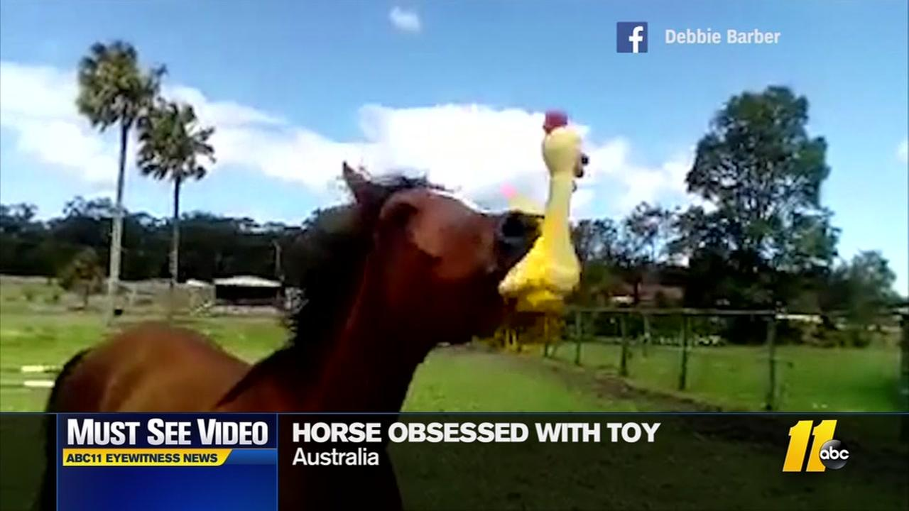 Horse obsessed with toy chicken