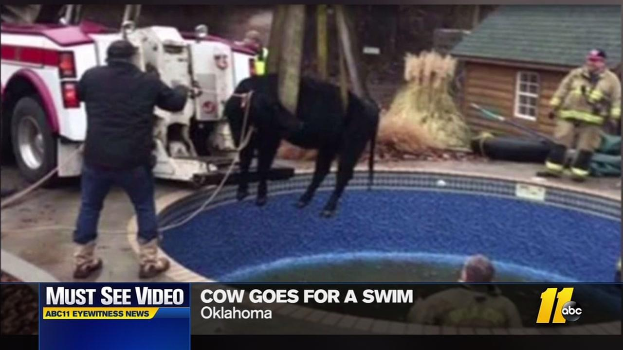 Wrecker used to pull 1,500 lb cow from pool