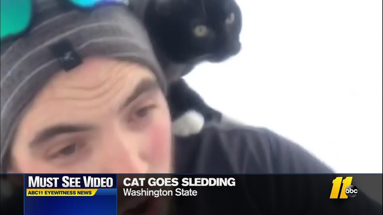 Cat goes sledding with owner