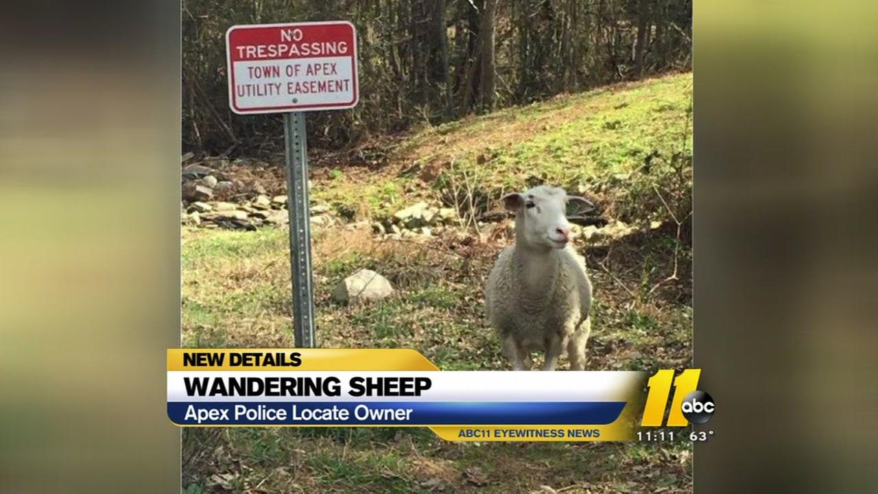 Wandering sheep reunited with owner