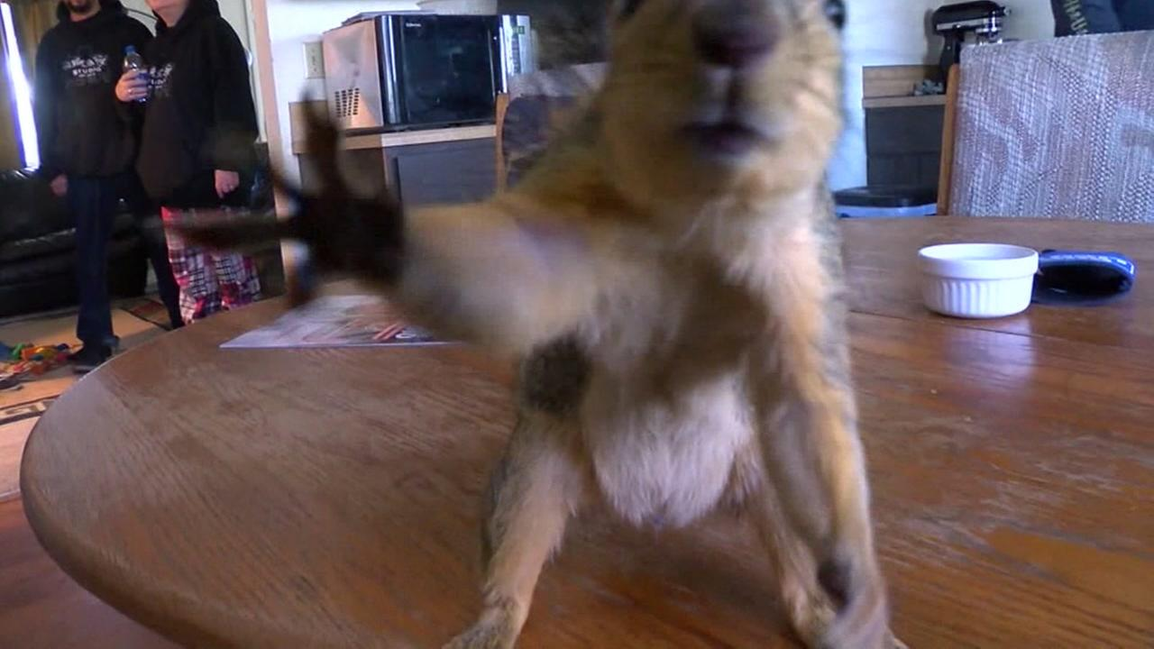 Pet squirrel goes nuts on home burglar