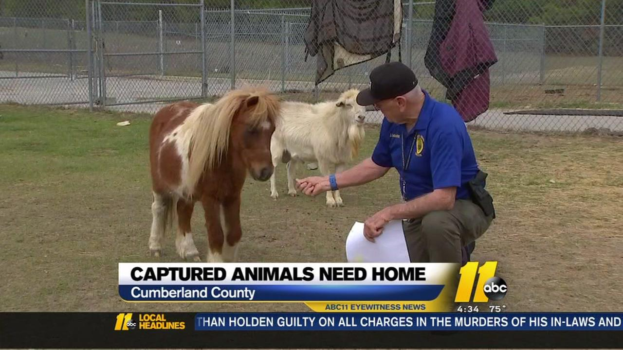 Captured livestock need homes