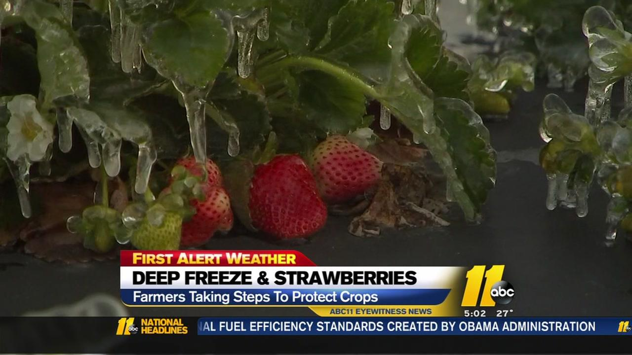 Deep freeze and strawberries
