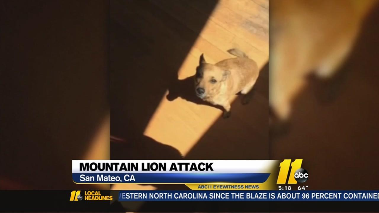 Mountain lion snatches family dog from California home