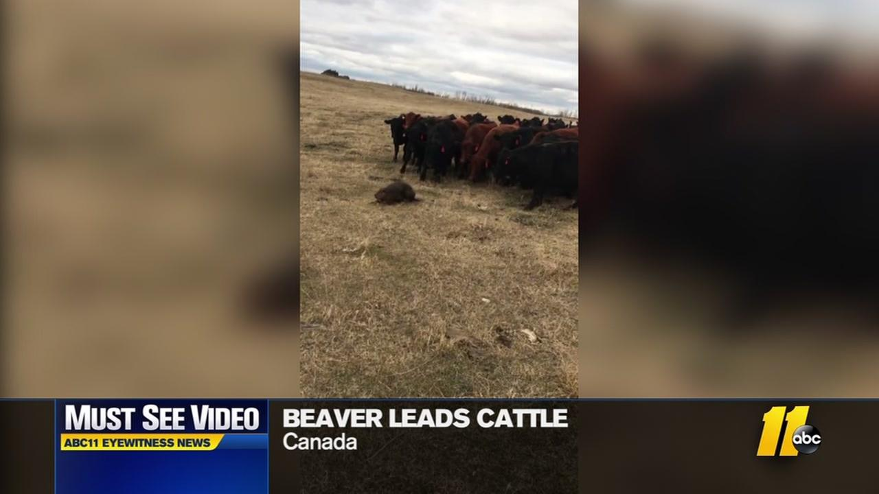 Beaver leads cattle