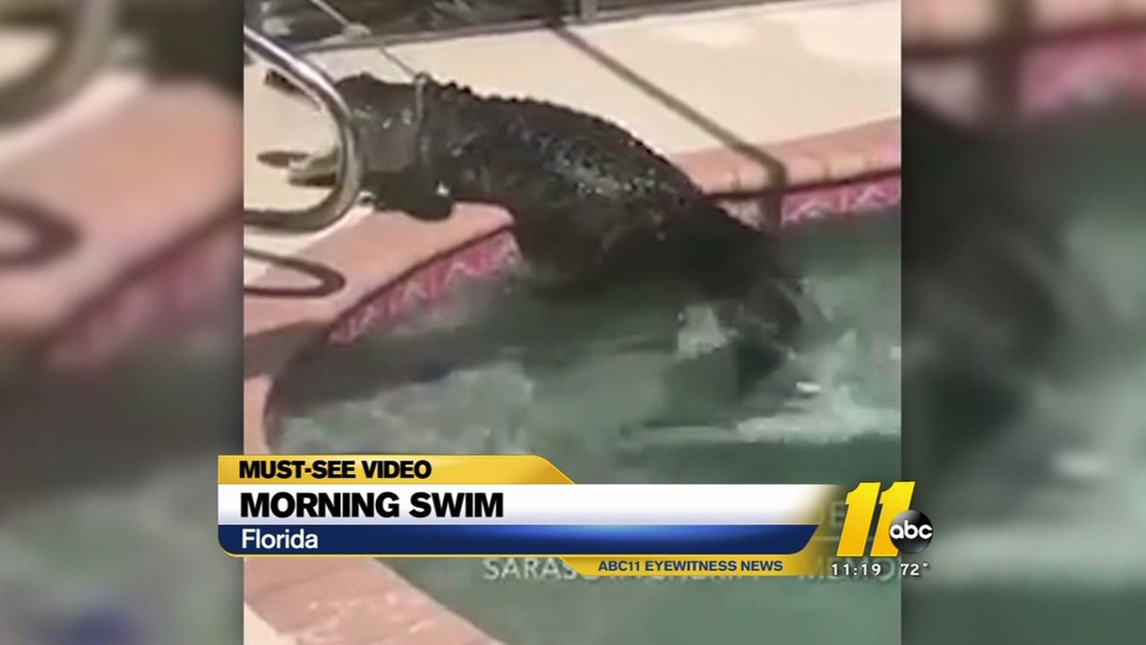 Gator found in Florida pool