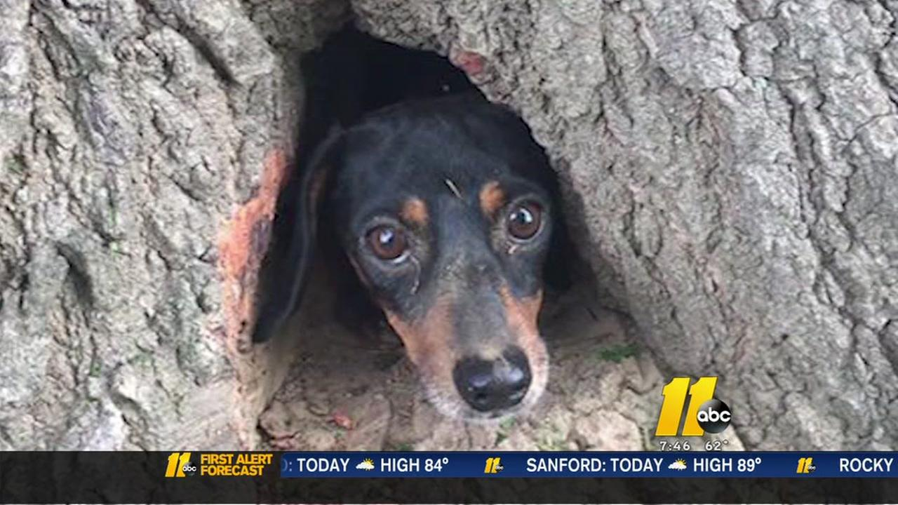 Cat in a tree? No, its a dog who had to be rescued