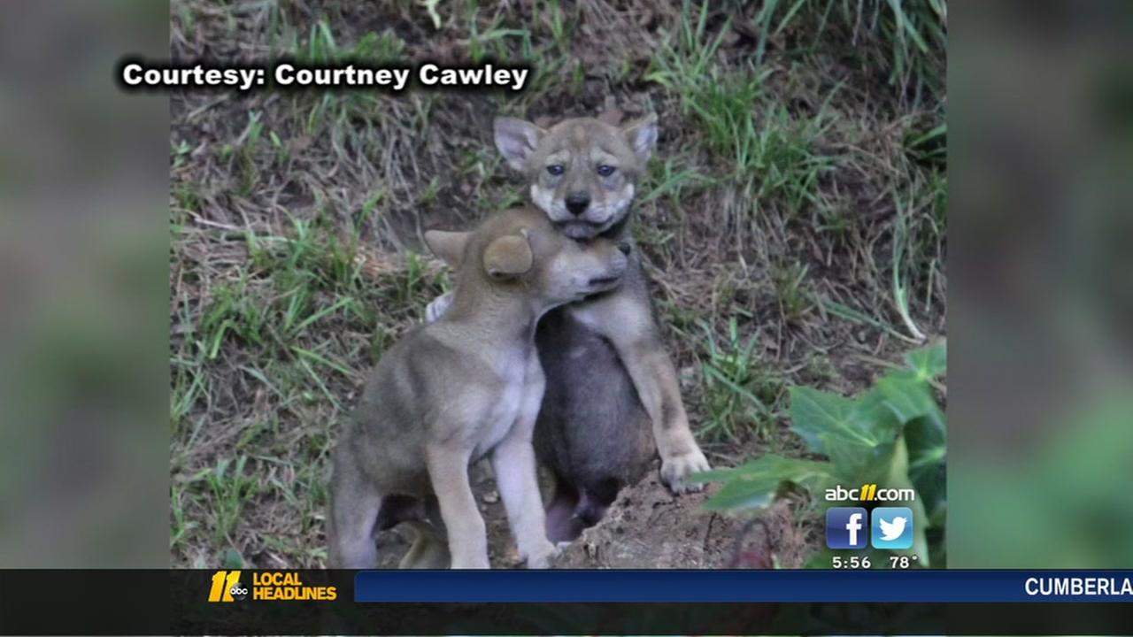 3 escaped wolf pups from Durhams Museum of Life and Science found