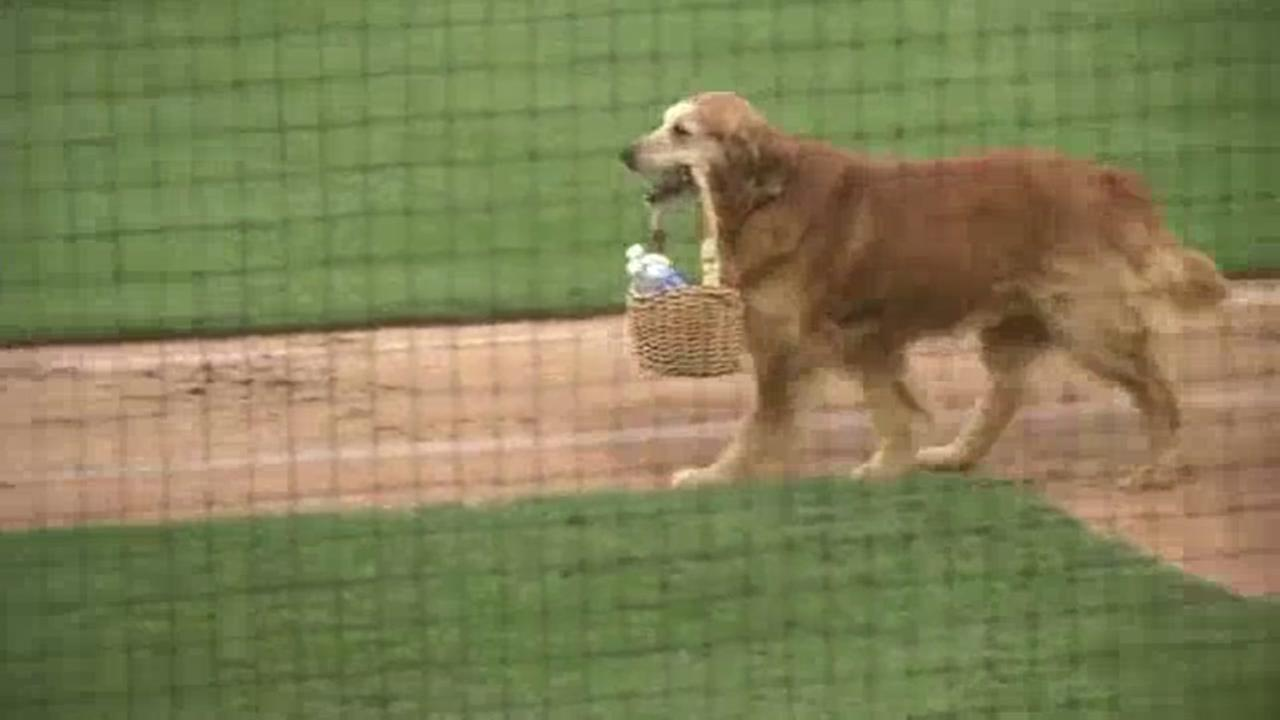 Dog delivers water to umpires mid-game