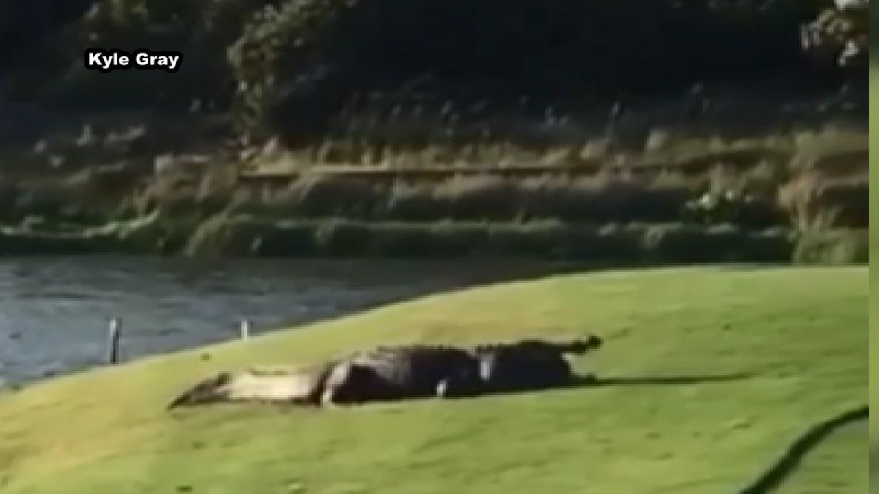 Gator eats turtle on Bald Head Island