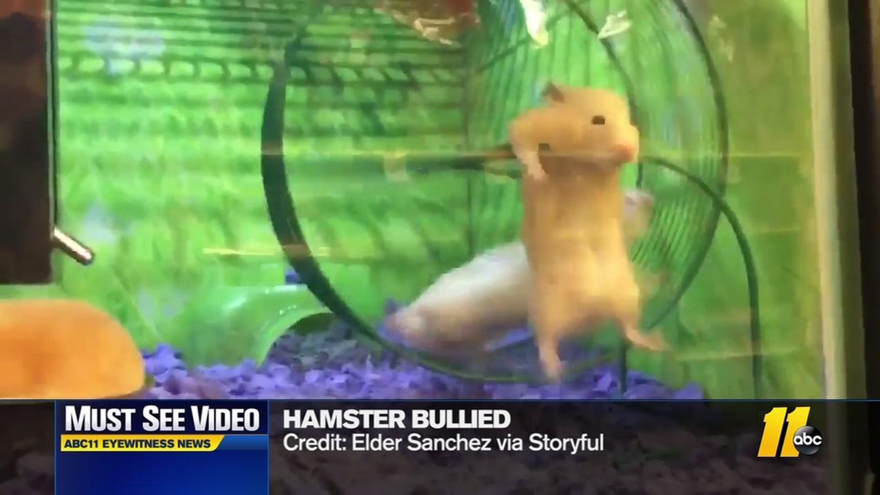 Hamster bullied