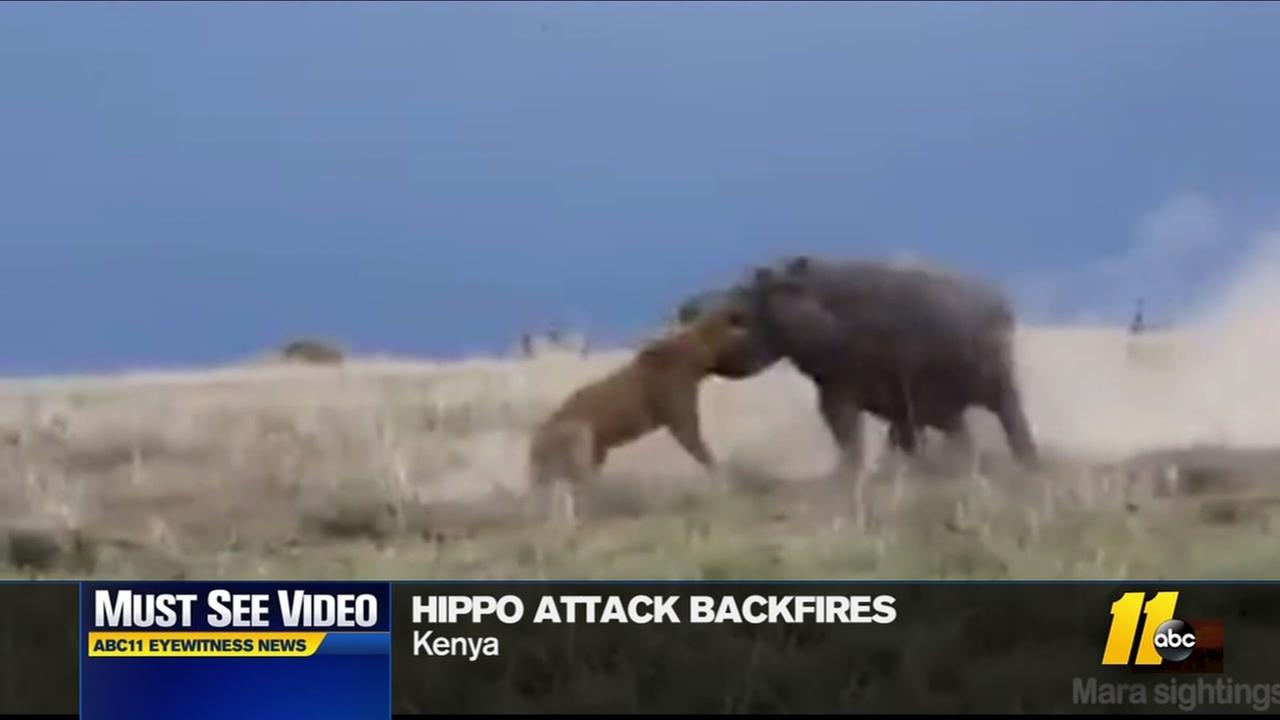 Lion takes on hippo and loses