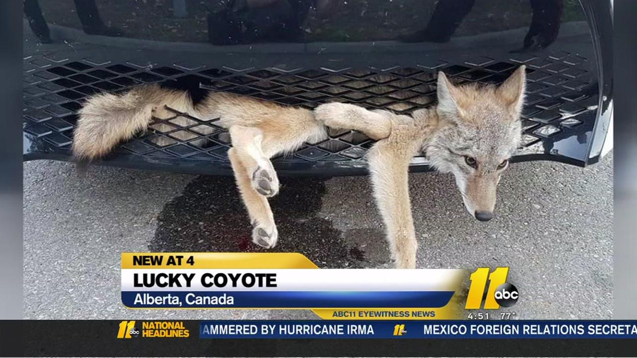 Lucky coyote escapes with minimal injuries