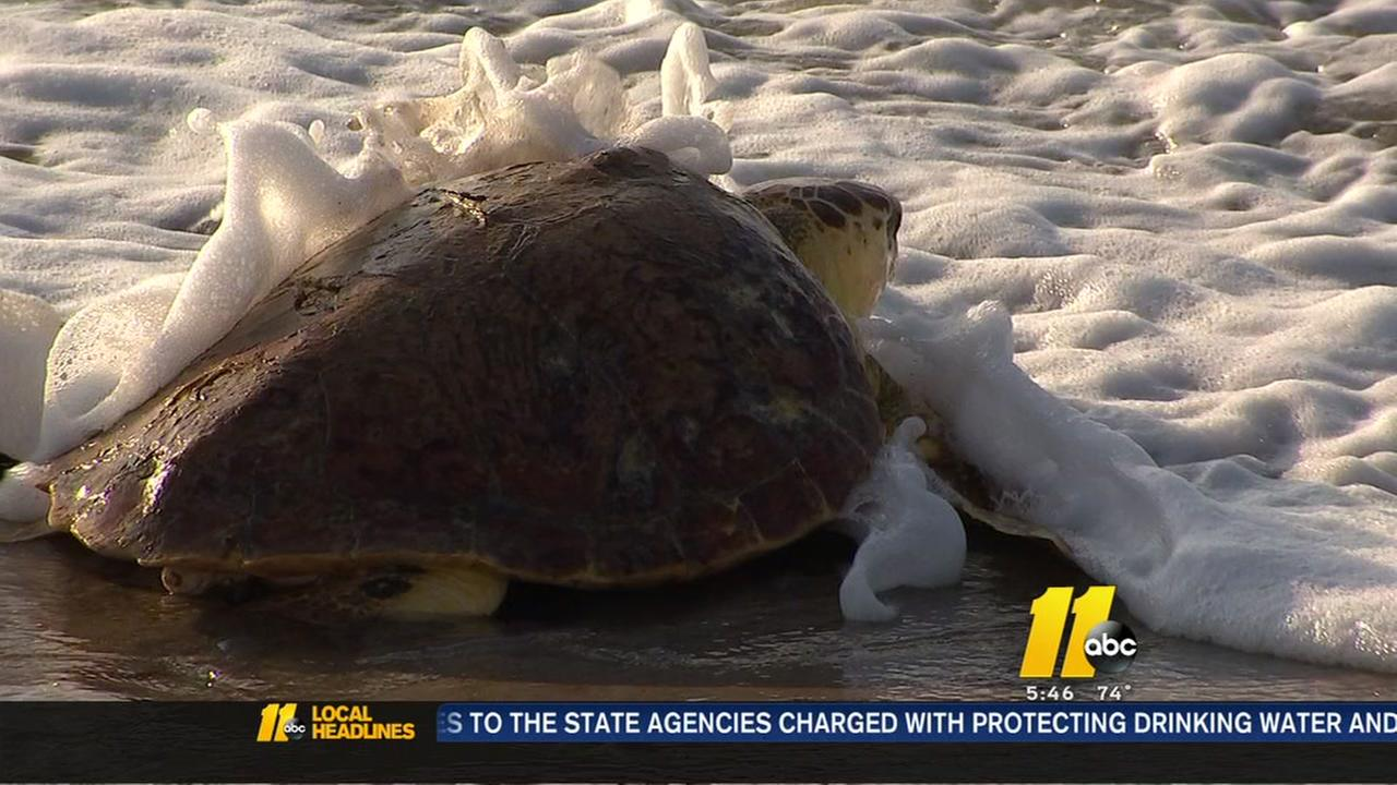North Carolina turtle hospital looks to save dying species