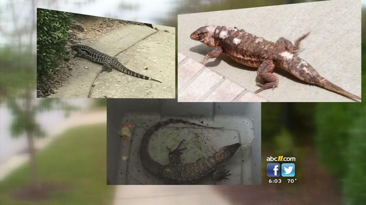 Lizards on the loose in Wake Forest not venomous
