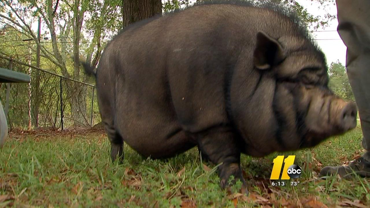 Pig gets loose at Durham clinic; employees charged