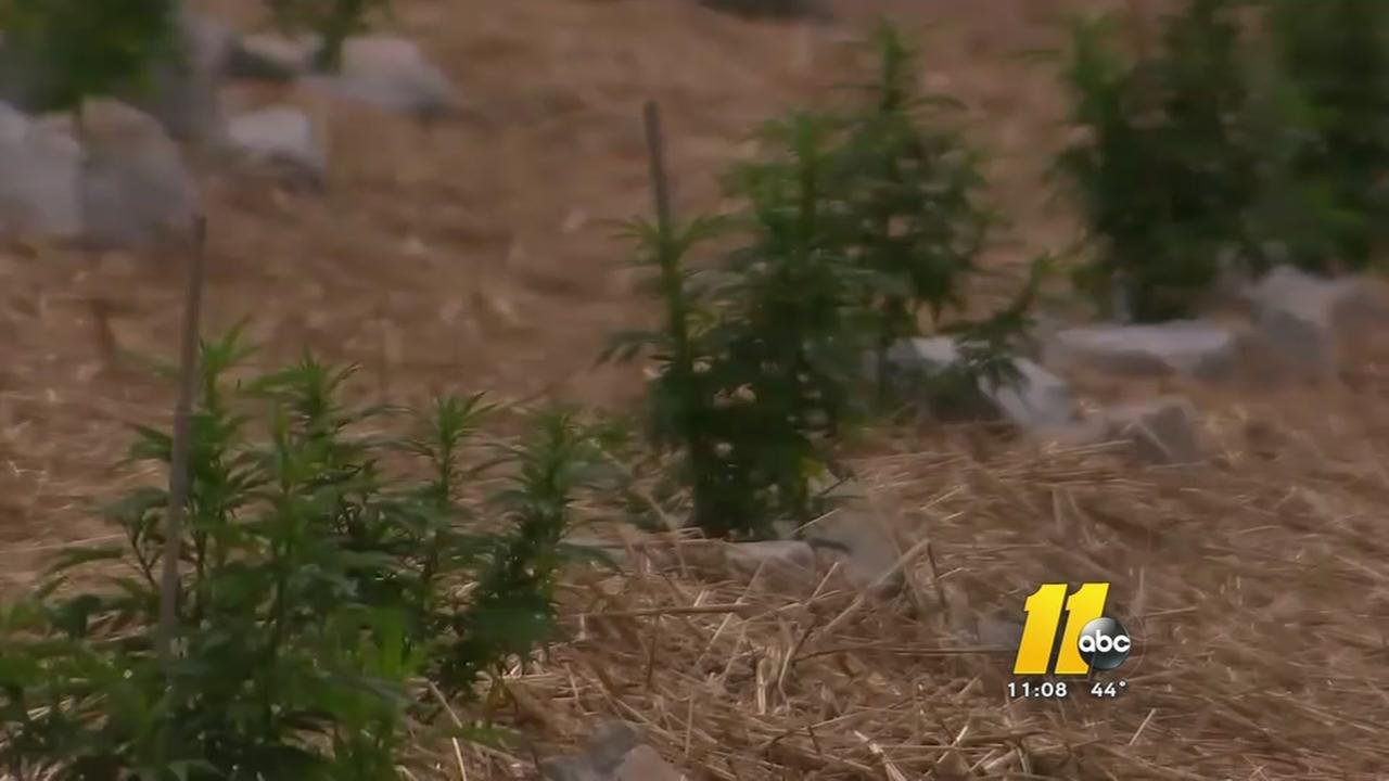 High on hemp in NC despite rough growing season