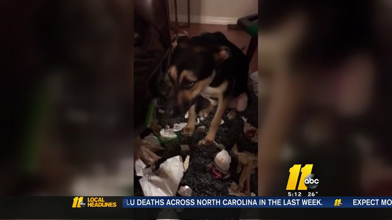 A trail of trash leads to a very guilty dog