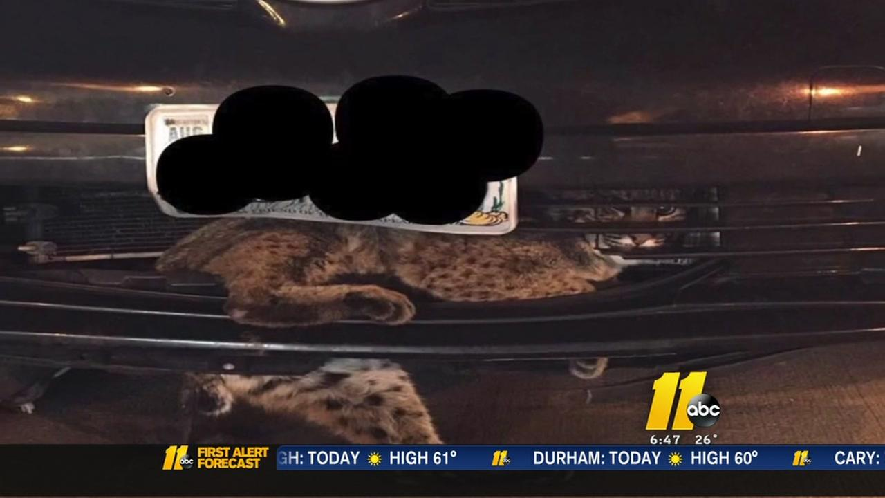 Bobcat survives 50 miles trapped in grill of a car