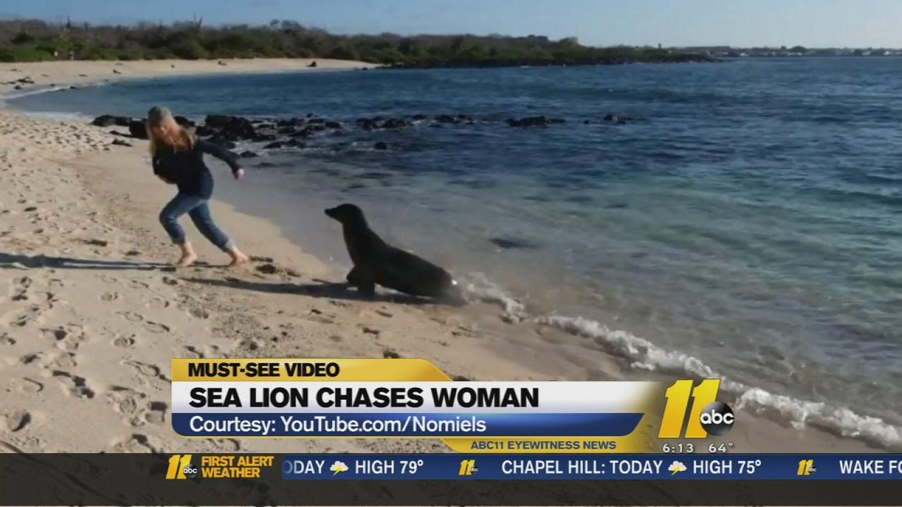 Sea lion chases woman