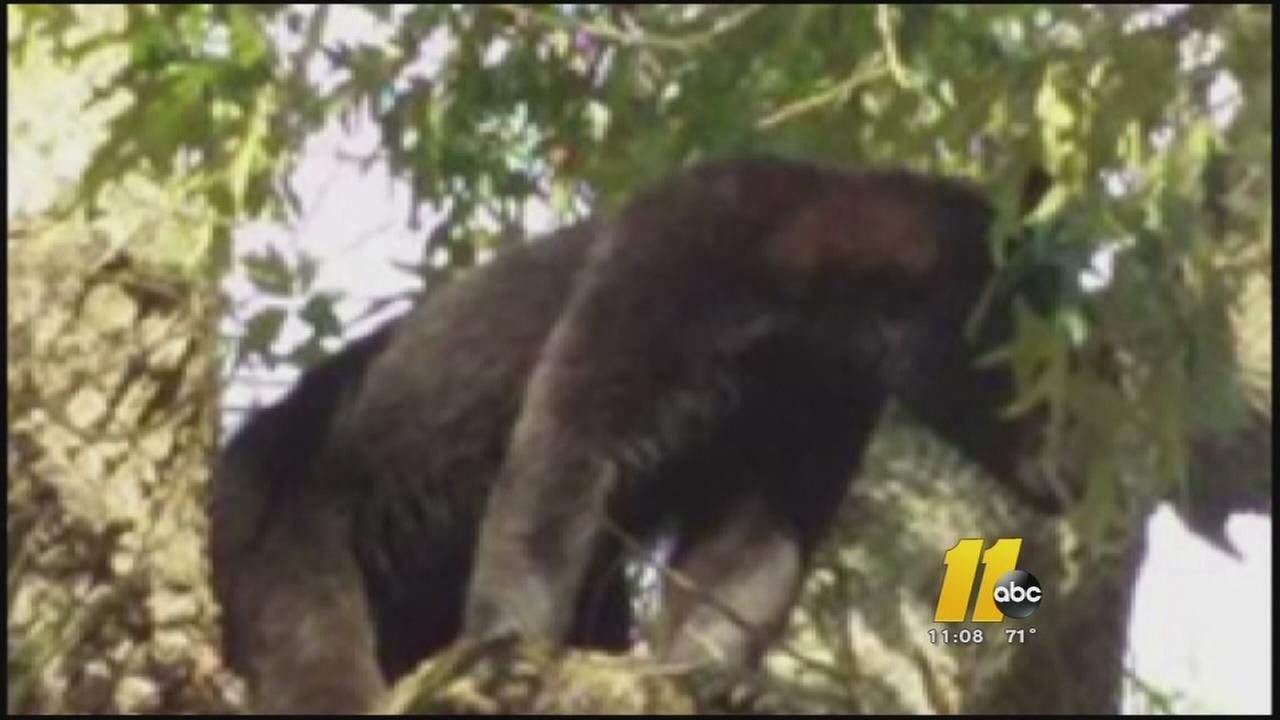 Harnett County farmer finds bear up a tree
