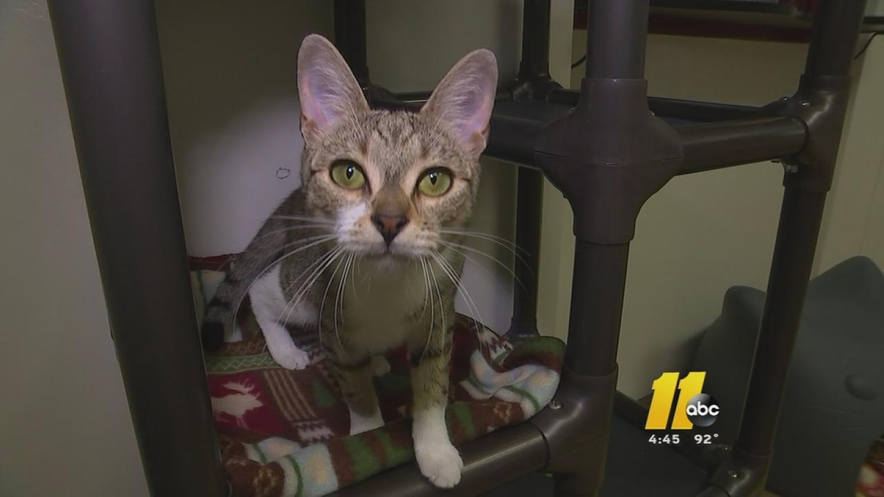 Free cat adoptions at Wake Co. SPCA