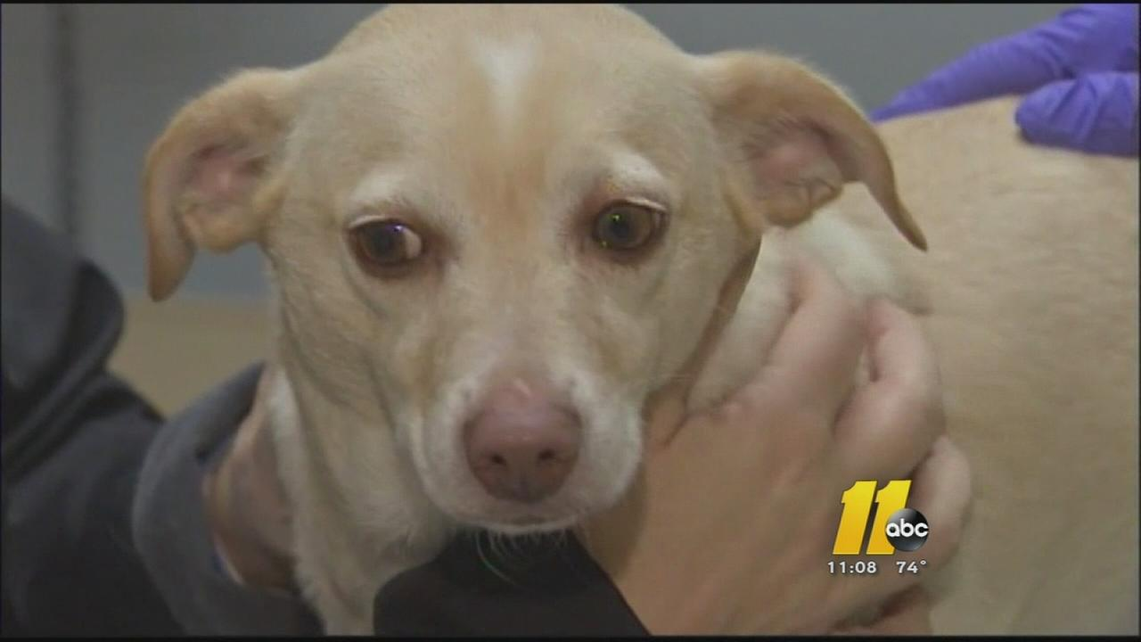 Canine flu cases reported in Raleigh and Wake County