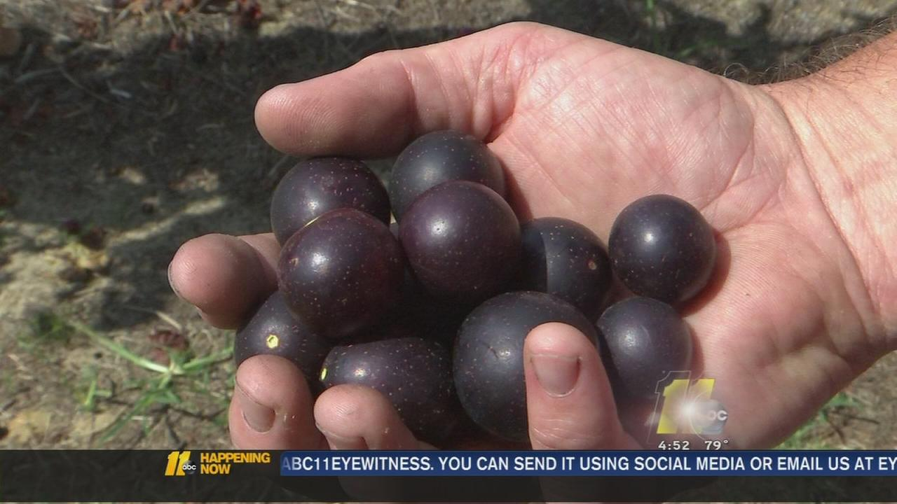 Weather brings bountiful grape harvest