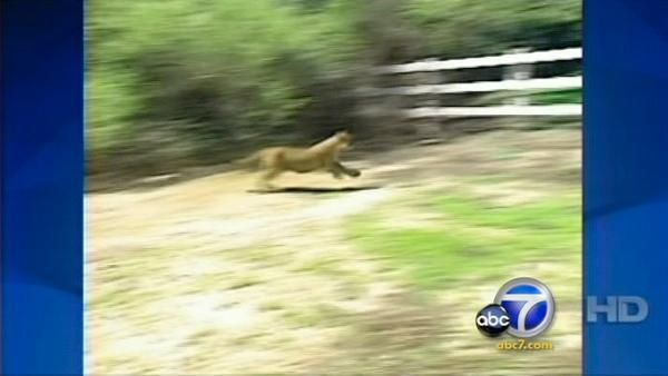 Residents say mountain lion killing pets
