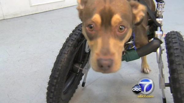 Disabled rescue dog gets new wheels