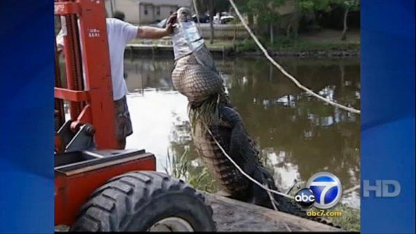 800-pound alligator caught in Mississippi