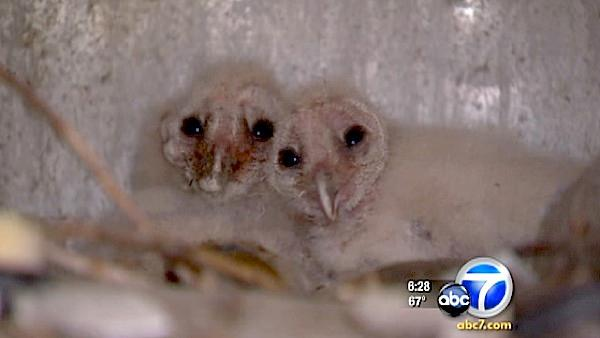Baby owls taken from nest, thrown in bucket